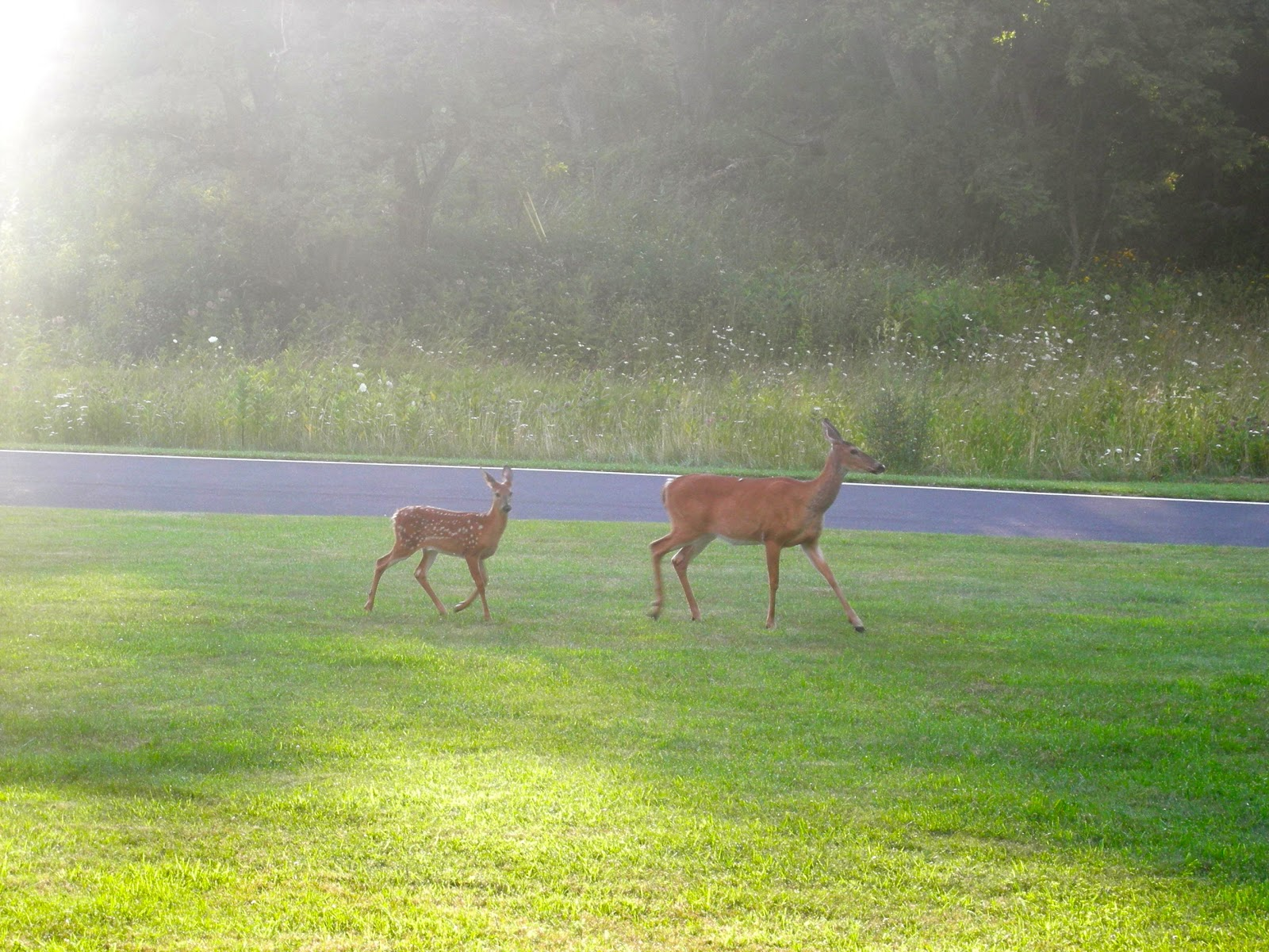 Deer at Skyland Lodge, VA