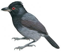 Black-throated Antshrike