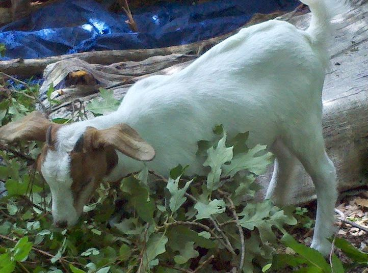 Saanen goat, baby goat eating, life on a farm