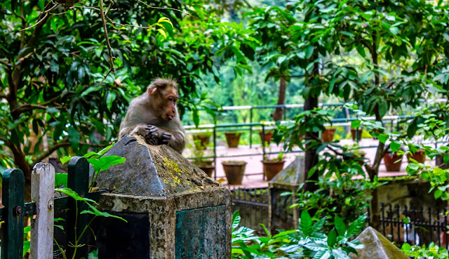 Monkey in Vazhachal waterfalls