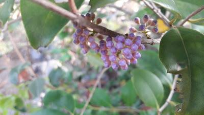 memecylon flowers bud