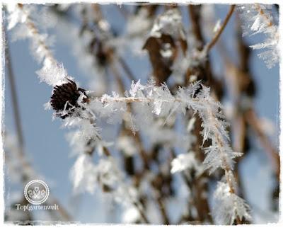 Gartenblog Topfgartenwelt Raureif: Sonnenhut Samenstand