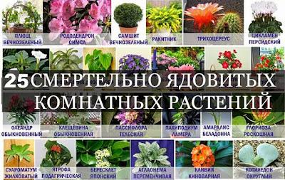 комнатные цветы, ядовитые комнатные цветы, как ухаживать за цветами, цветы для дома
