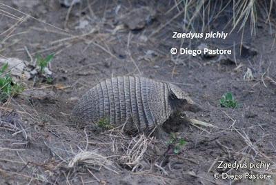 Pichi Zaedyus pichi
