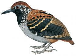 Myrmornis torquata