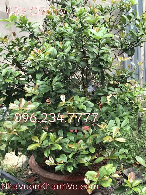 Đăng tin rao vặt: Tại sao nên trồng cây cherry trong khuôn viên nhà? Cay-cherry-khanh-vo-2