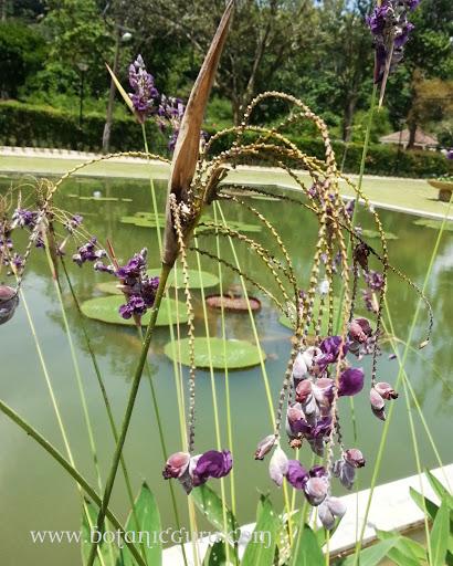 Thalia geniculata, Giant Water Canna flowers