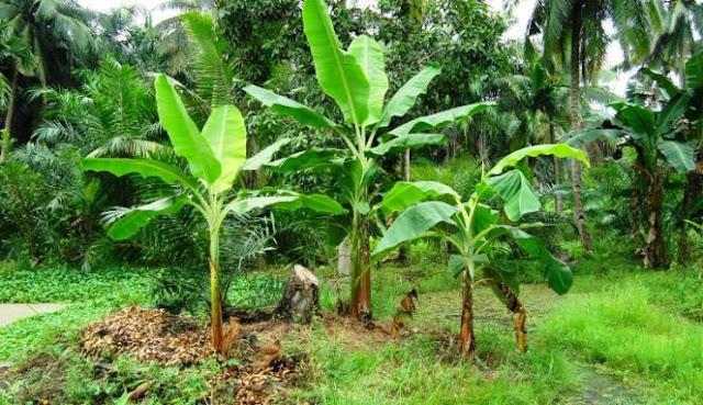 Batang Pohon Pisang Sebagai Alternatif Obat Antiseptic