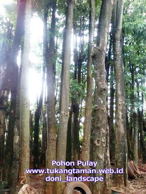 Jual Pohon Pule | Supplier Pohon Pulay Murah | Tanaman Pulai | Pohon Lame