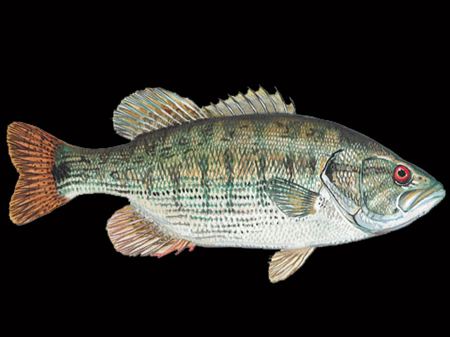 Freshwater Fish List Starting With R Animals Name A To Z
