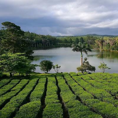 Plantación de té de Bois Chéri