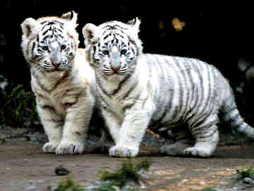 high definition wallpaper white tiger hd wallpapers