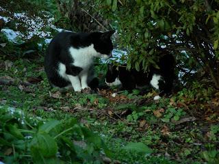 親子猫に絡むカラス 仲睦まじい白黒親子猫