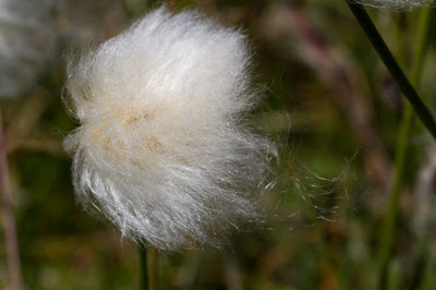 Eriophorum sp. - Cottongrass head.