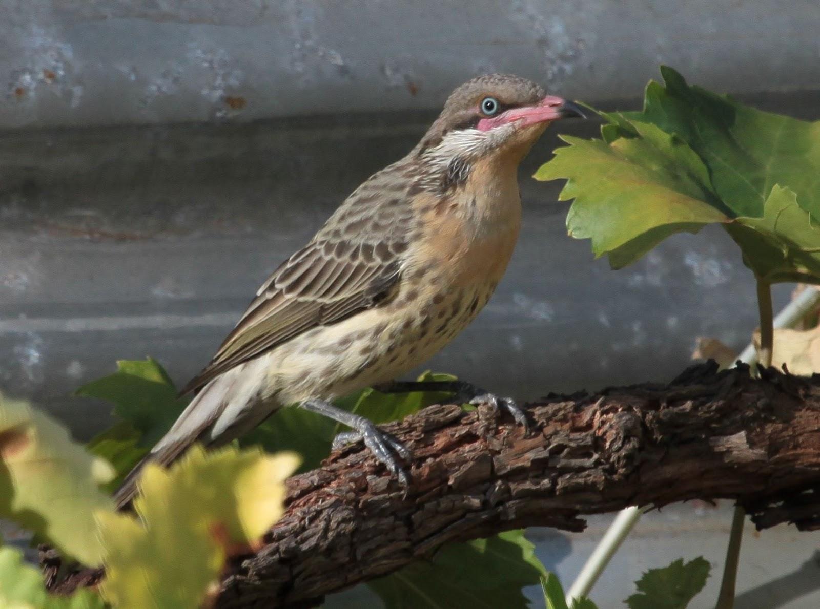 Richard Waring's Birds of Australia: Photos of Birds in ...