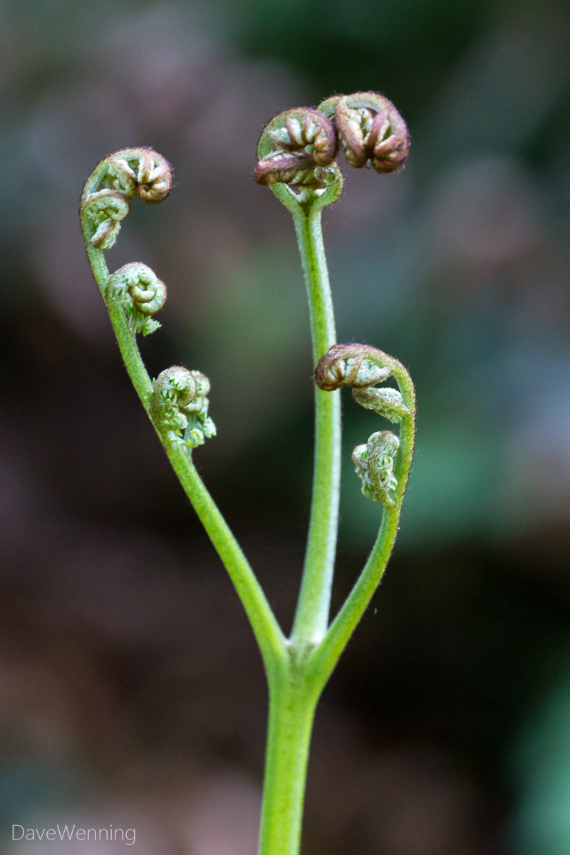 Bracken Fern Fiddleheads