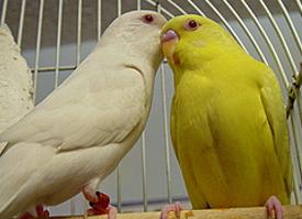 albino paraakeet