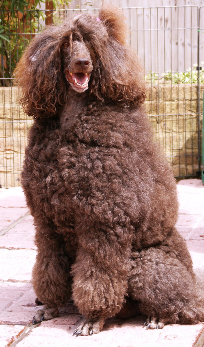 Cute Puppy Dogs: Cute Brown poodle puppy  Cute Puppy Dogs...