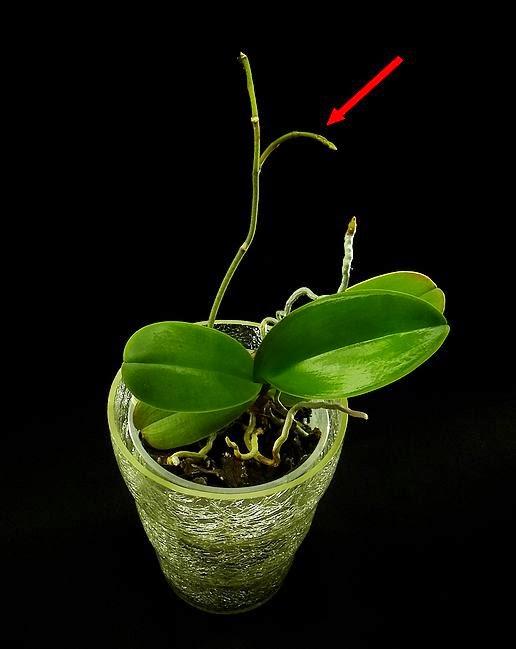 storczyk pęd kwiatowy