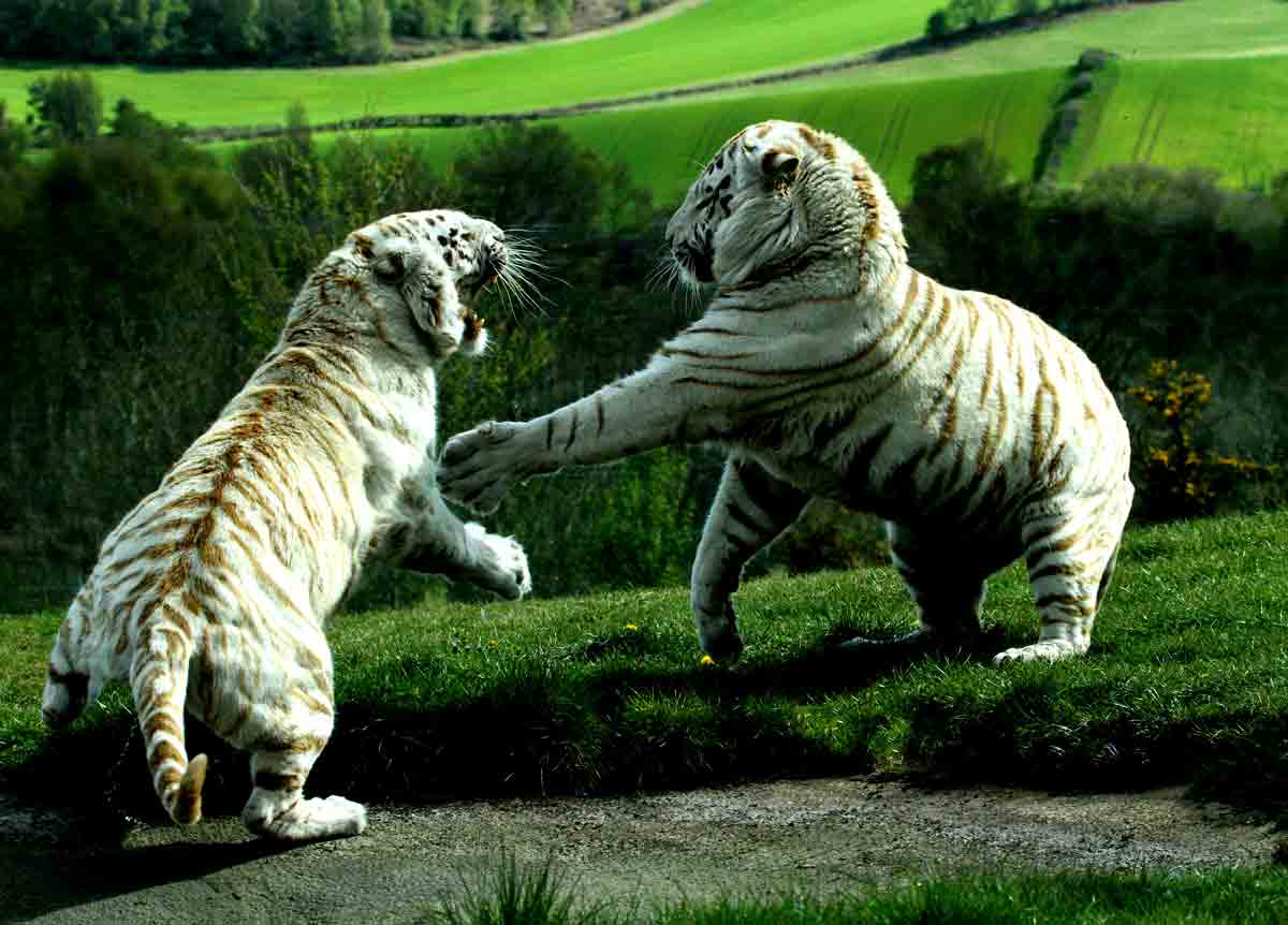 Compare Grizzly Bear vs Siberian Tiger