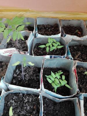 Orto di maggio: il semenzaio delle solanacee