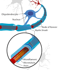 Myelination of neurons