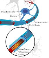 Myelination of neurons
