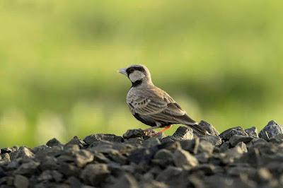 chakli-sparrow-pics-imgsss