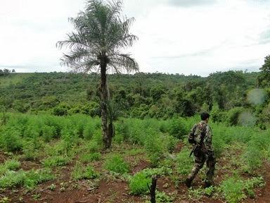 Resultado de imagen para La Secretaría Nacional Antidrogas tiene en su mapa a Arroyito como uno de los lugares donde se concentran plantaciones de marihuana