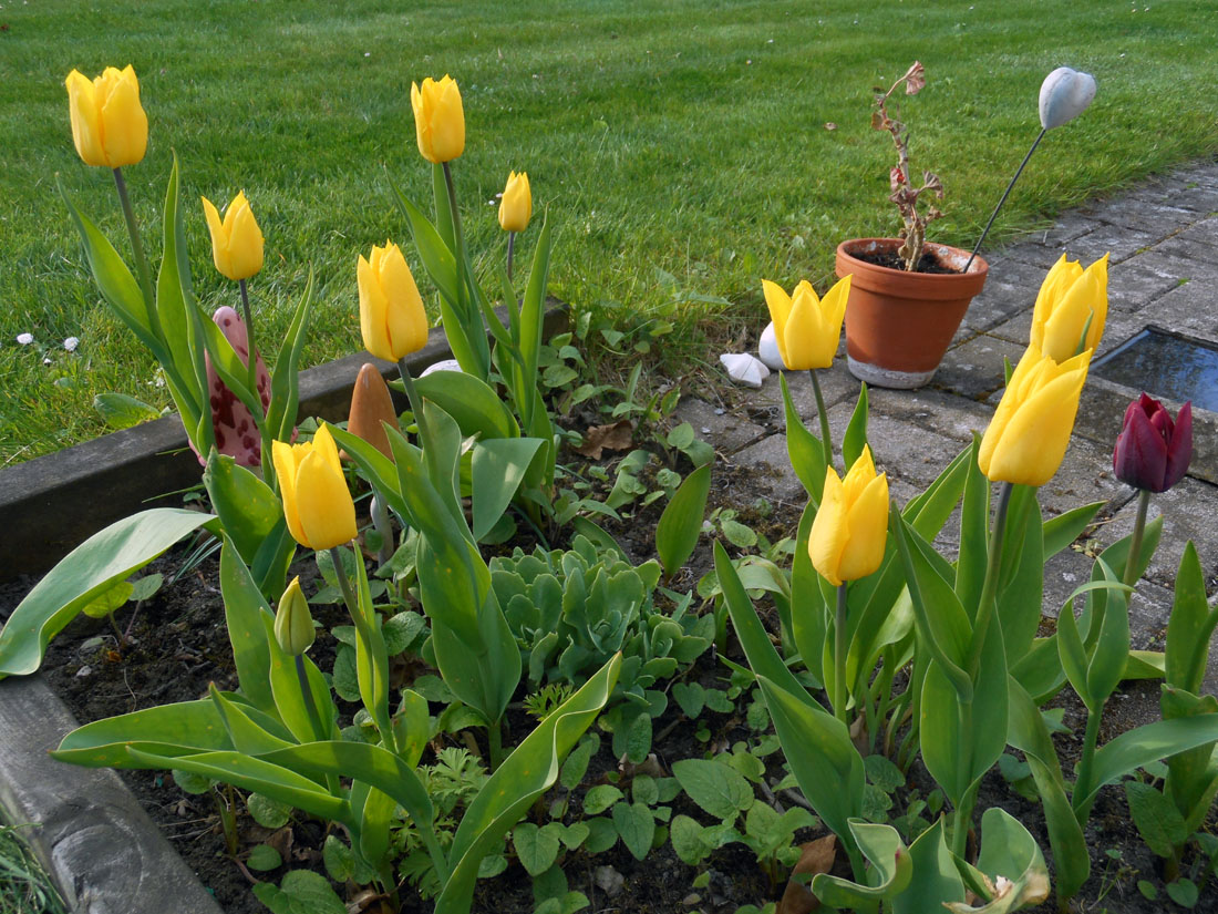 Tulipani nel mio giardino
