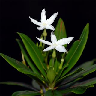 ตีนเป็ดแคระ ไม้เฉพาะถิ่นของไทย ดอกเป็นช่อสีขาว ไม่มีกลิ่น ออกดอกตลอดปี