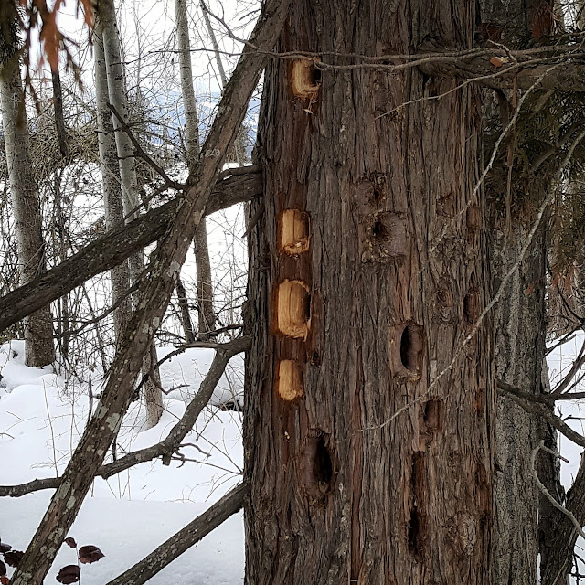multiple holes drilled into tree trunk by woodpecker in wintertime www.ruralmag.com