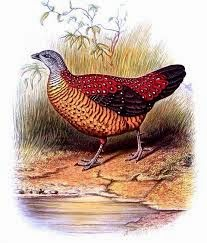 Painted Spurfowl