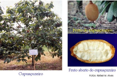 Cupuaçu, Cultura do Cupuaçu