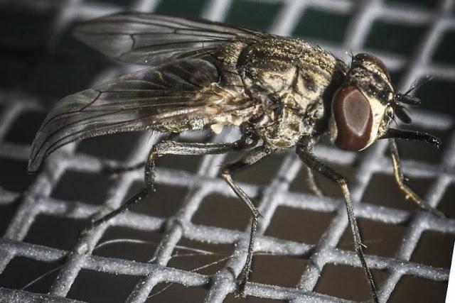 Οι μύγες δεν ήταν ποτέ αθώες.Το θανατηφόρο μυστικό που κουβαλούν !