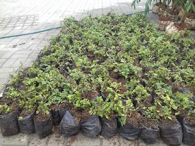 Jual Pohon Dolar Rambat di Bekasi - Tukang Rumput Bogor