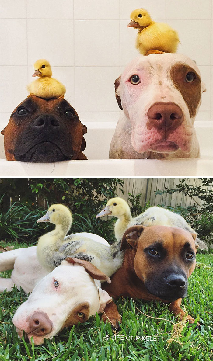 50 Heart-Warming Photos of Animals Growing Up Together - Two Ducklings And Two Of Their Best Friends
