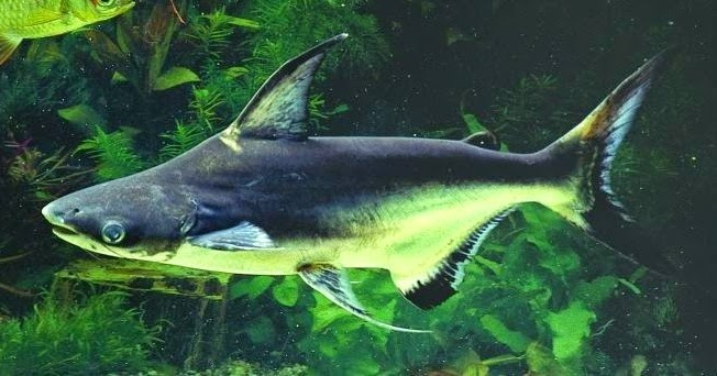 kandungan gizi ikan patin
