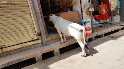 mucca curiosa