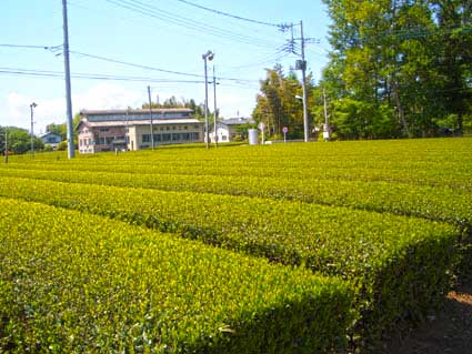 Japanese tea field Sayama, Saitama.