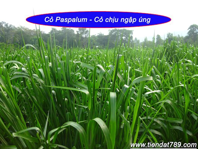 Cỏ paspalum Ubon