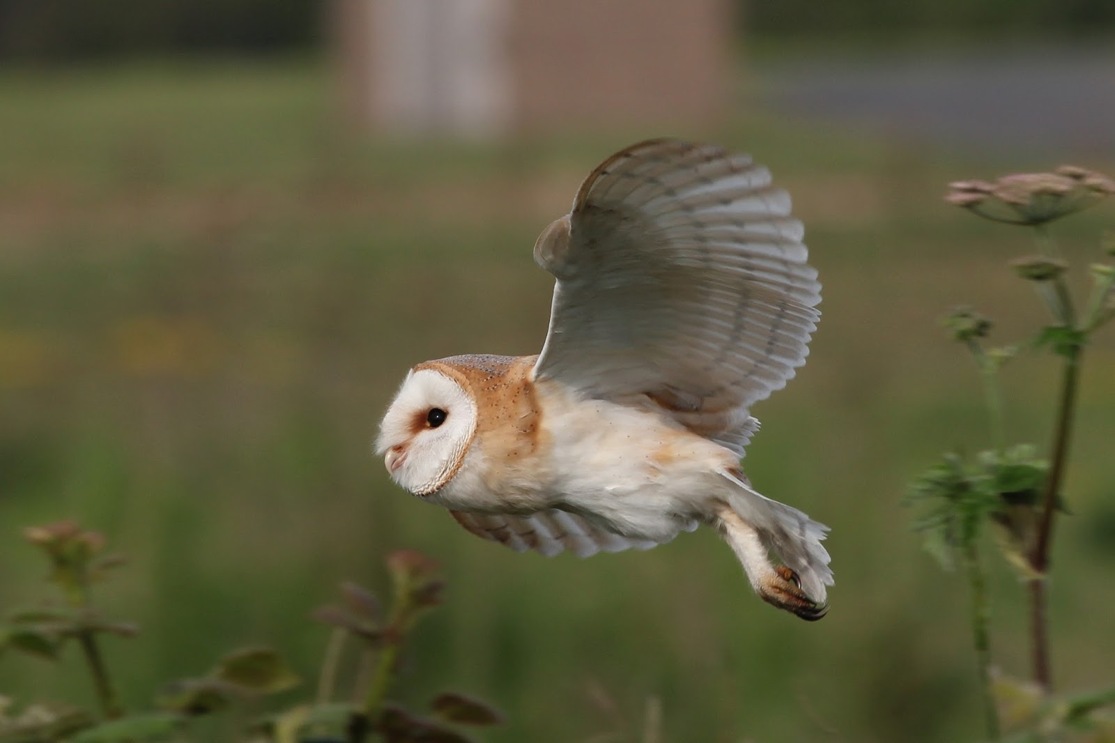 Hornsea Wildlife and Walks: Barn Owl (again)