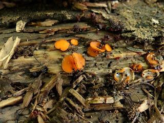 Pézize en bouclier - Scutellinia scutellata