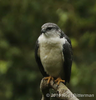 Gray-backed Hawk