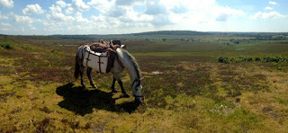 Packhorse walking across the New Forest Hampshire UK