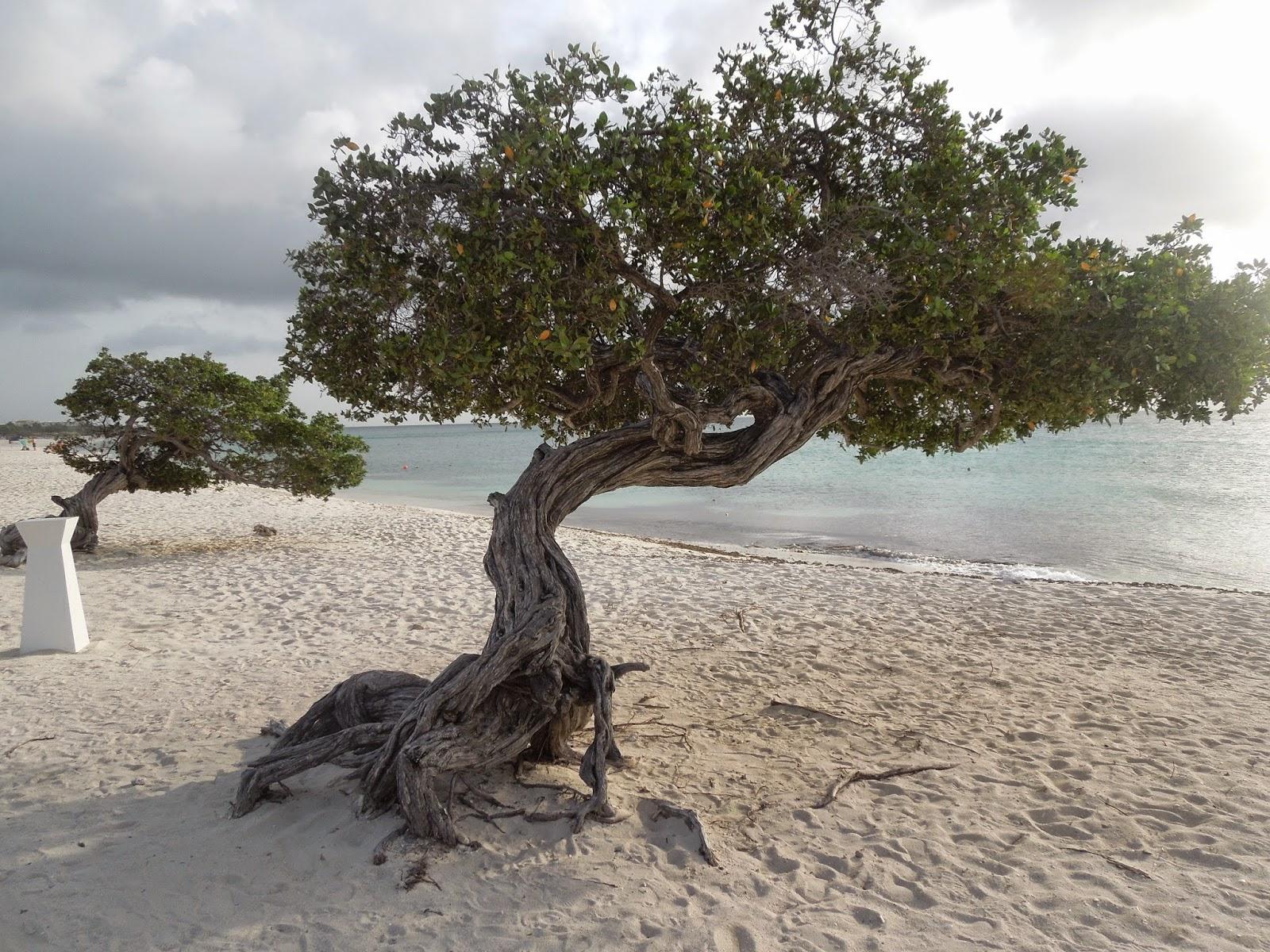 Divi Divi trees Aruba