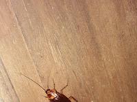 Penyebab rumah banyak kecoa dan cara menghilangkan kecoa didalam rumah