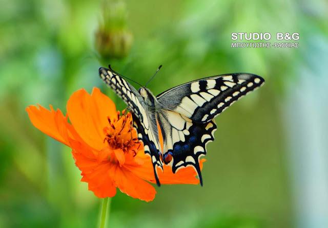 Η φωτογραφία της ημέρας: Η πεταλούδα Papilio Machaon