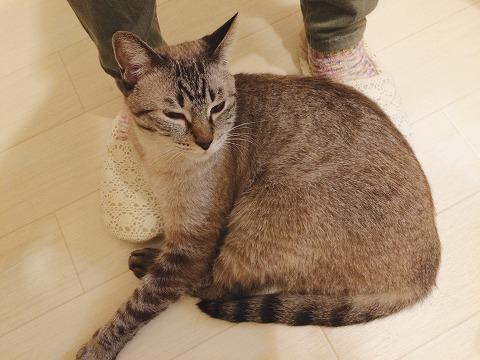 飼い主の足にくっついてるシャムトラ猫