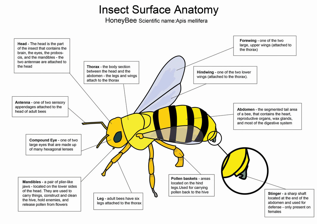 Bees hive honey bee diagram ccuart Images